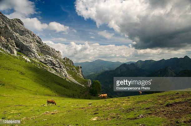cows in mountains of asturias - principado de asturias fotografías e imágenes de stock