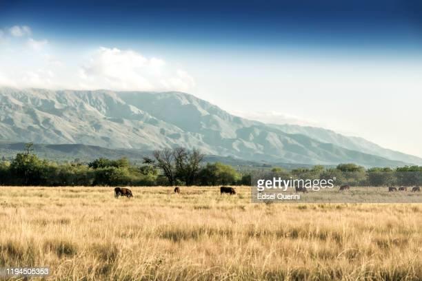 kühe auf der natürlichen weide der feuchten pampa. argentinien. - pampa stock-fotos und bilder