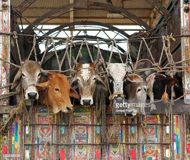Cows in Pakistani truck