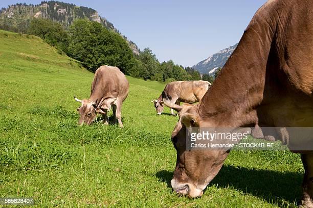 Cows in pasture, Allgaeu, Bavaria, Germany