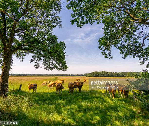 cows in pasture, drenthe, netherlands - drenthe stock pictures, royalty-free photos & images