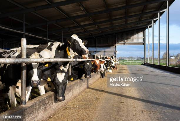 cows in pen open to fresh air and light, wyns, friesland, netherlands - dairy farm stock pictures, royalty-free photos & images
