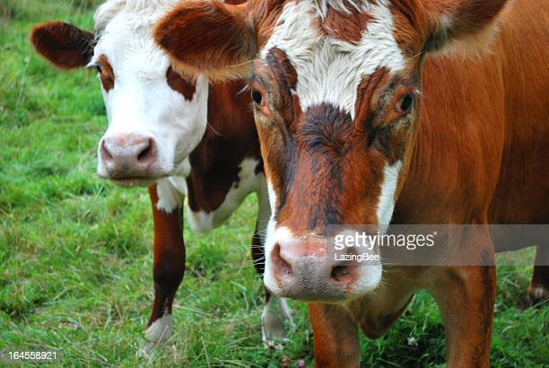 Cows in Rural Scene