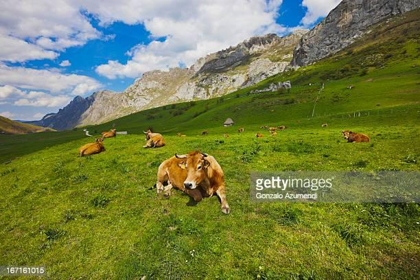 cows in somiedo natural park. - principado de asturias fotografías e imágenes de stock