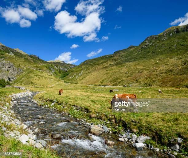 kühe in den alpen - kemter stock-fotos und bilder