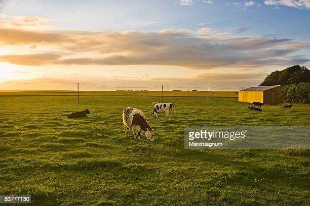 cows in the countryside - haute normandie stockfoto's en -beelden