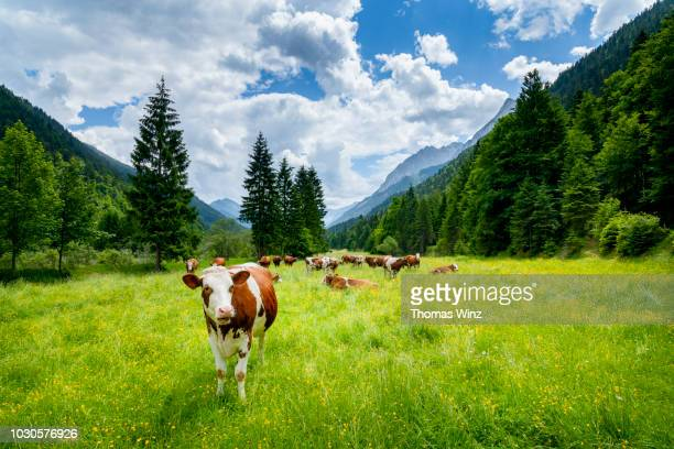 cows in the karwendel mountains looking at camera - karwendel mountains stock pictures, royalty-free photos & images