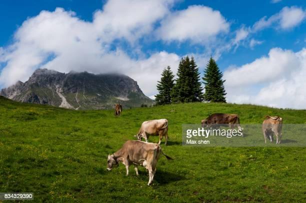 cows in the meadow of european alps - vorarlberg stock-fotos und bilder