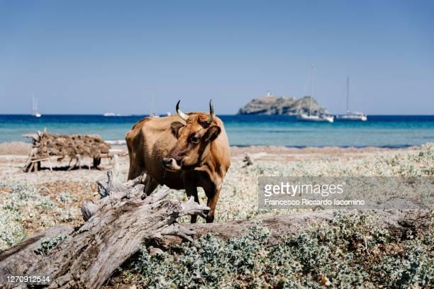 cows in the mediterranean beach of barcaggio, cape corse, haute corse, corsica, france - francesco riccardo iacomino france foto e immagini stock