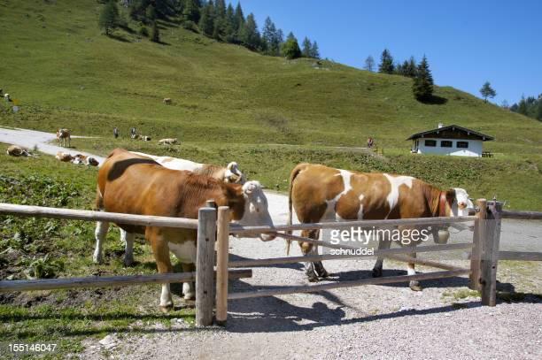 Kühe auf die Berge