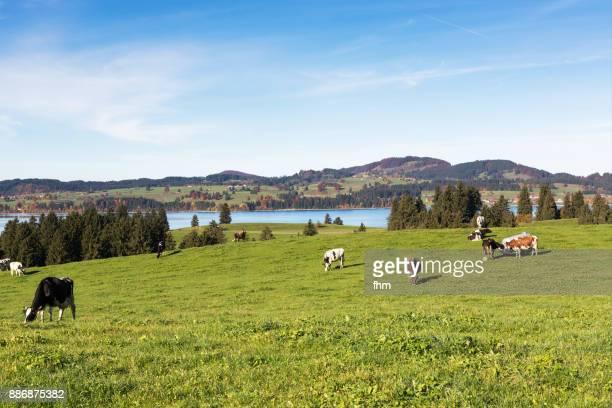 cows in the pasture (bavaria/ germany) - 平地 ストックフォトと画像