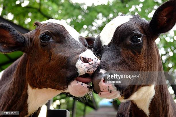 cows kissing - lifeispixels stock pictures, royalty-free photos & images