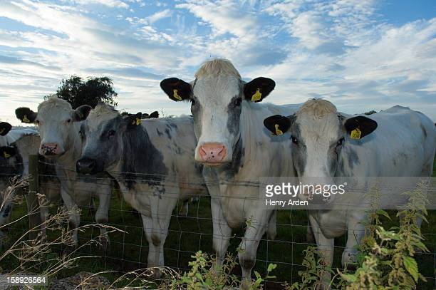 Cows leaning over wire fence