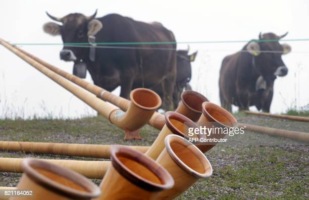 Cows look on as Alphorn blowers play their instruments during the socalled 'Berglar Kirbe' outdoor church service dedicated to Saint Jakobus on the...