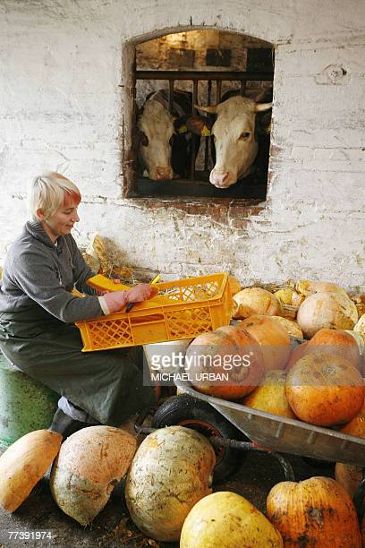 Cows look out of their barn as Eveline Jedro cuts pumpkins 18 October 2007 at her farm in Boblitz eastern Germany Pumpkins commomly are eaten cooked...