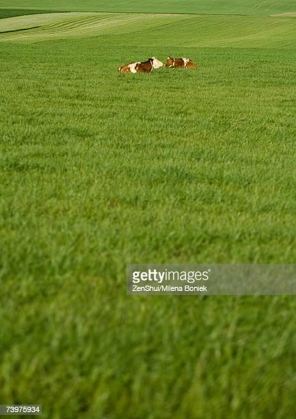 Cows lying in pasture