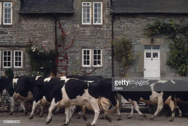 Cows make their way through the rural village of Tissingdon, Derbyshire, circa 1975.