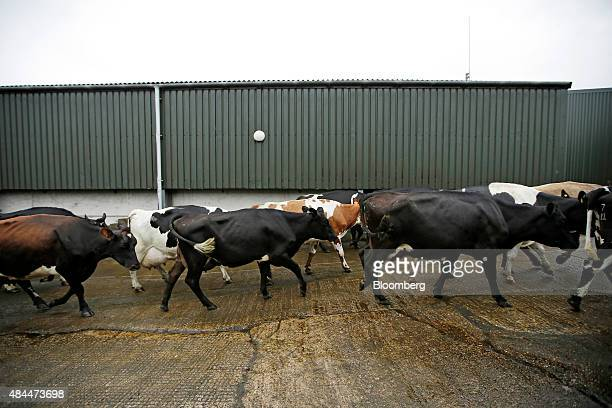 Cows make their way to the milking parlour at the Our Cow Molly Farm and Dairy near Sheffield UK on Friday Aug 2015 Dairy producers are demanding...