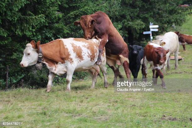 cows mating on field - bullock stock photos and pictures