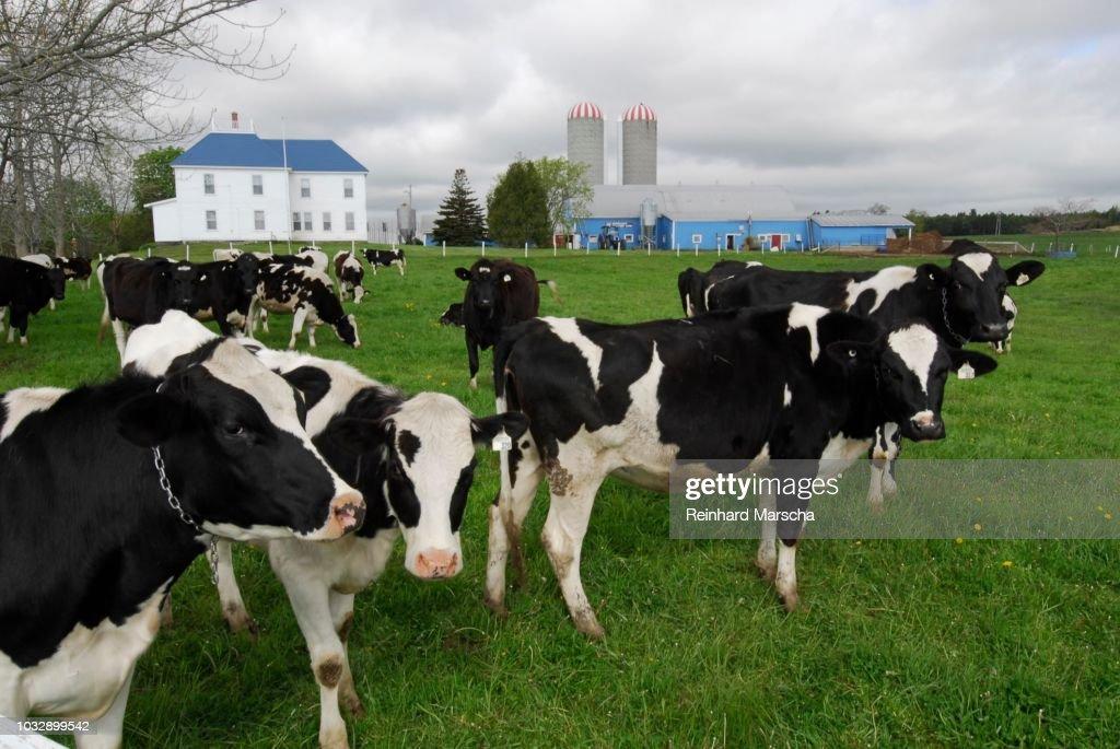 Cows On A Meadow And A Farm Near Halifax Nova Scotia Canada Stock