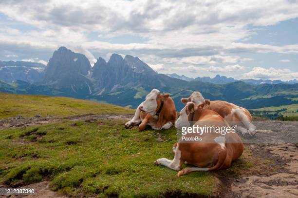cows on a mountain pasture, alpe di siusi, sud tirolo, bolzano, italy - pascolo foto e immagini stock