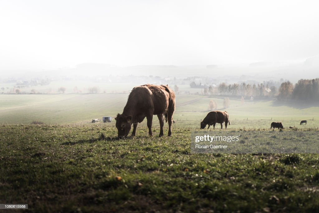 Cows... : News Photo