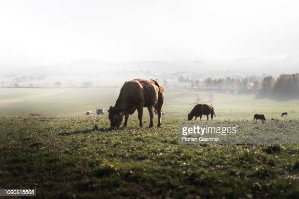 Cows on a pasture are pictured on November 10 2018 in Koenigshain Germany