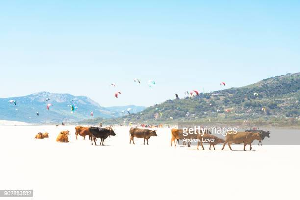 cows on beach. - tarifa stock photos and pictures