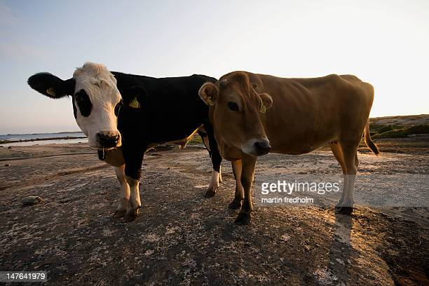 cows on cliffs - västra götaland county stock pictures, royalty-free photos & images
