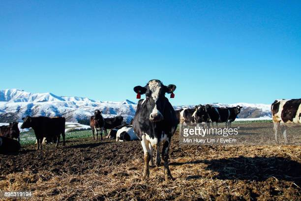 Cows On Field Against Clear Blue Sky During Winter