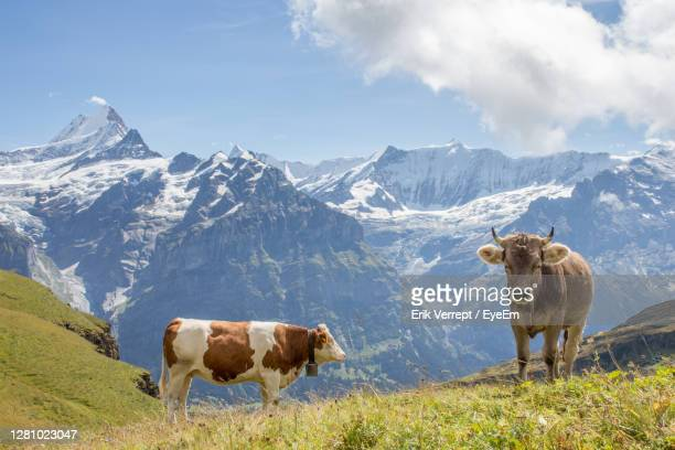 cows on field against mountain range - swiss alps stock pictures, royalty-free photos & images