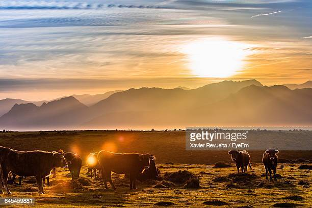 Cows On Field Against Mountains During Sunset