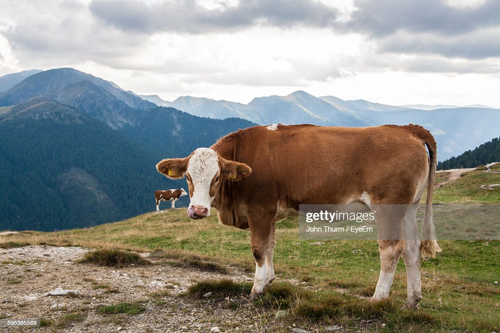 Cows On Field Against Mountains : Stock-Foto