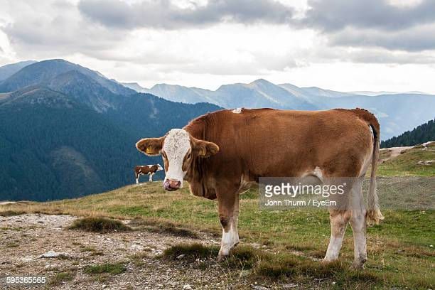 Cows On Field Against Mountains