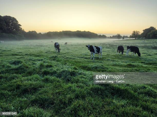 cows on field against sky - northern ireland stock photos and pictures