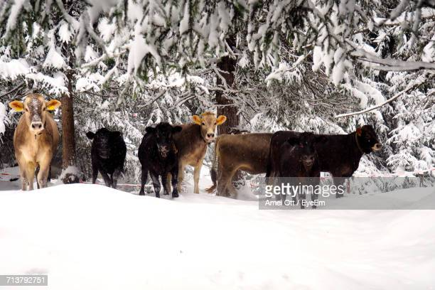 cows on field during winter - milk pack stock photos and pictures