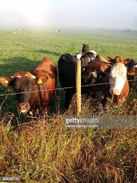 cows on grassy field against sky - harriet stock photos and pictures