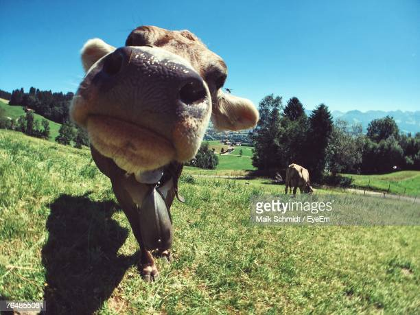 cows on grassy field during sunny day - oberstdorf stock pictures, royalty-free photos & images