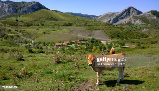 Cows On Grassy Field During Sunny Day