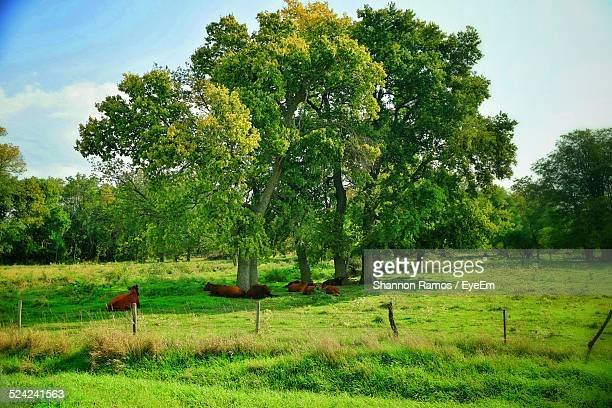 Cows On Grassy Field