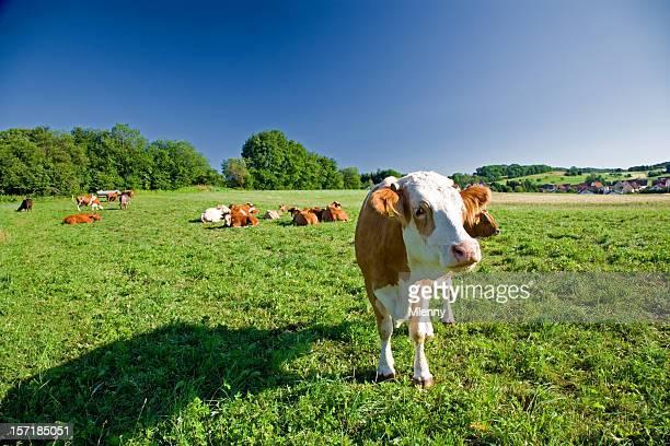 kühe auf grünen grasbewachsenen landschaft - mlenny stock-fotos und bilder