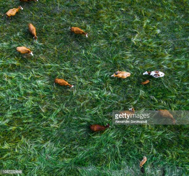 cows on pasturage aerial view from drone, green grass - funen stock pictures, royalty-free photos & images