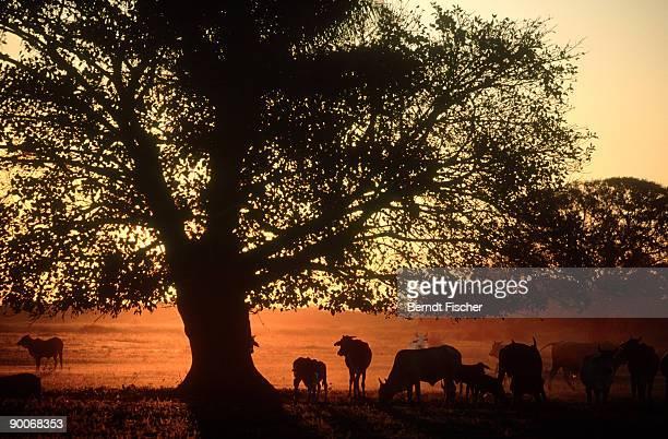 cows on pasture at dawn: pantanal, brazil - estado do mato grosso imagens e fotografias de stock