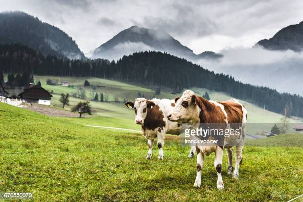 cows on pasture in austrian alps - pasture stock pictures, royalty-free photos & images