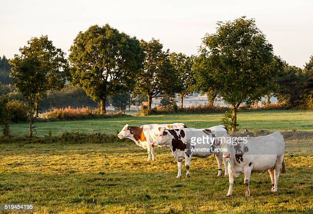cows on pasture in summer - aveyron photos et images de collection