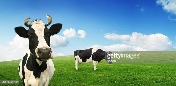 牛にパスチュア