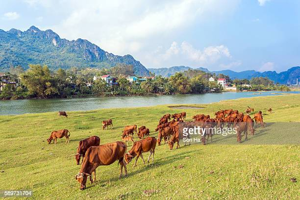 cows on pasture - hoogeveen stock pictures, royalty-free photos & images
