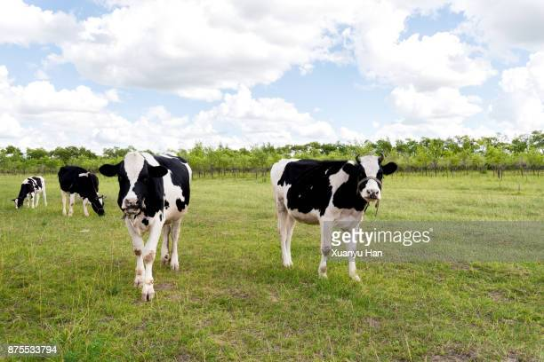 cows on pasture - one animal stock pictures, royalty-free photos & images
