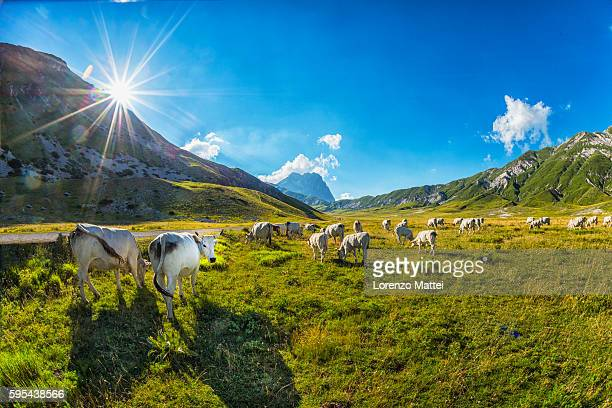 cows on plateau campo imperatore - グラン・サッソ ストックフォトと画像