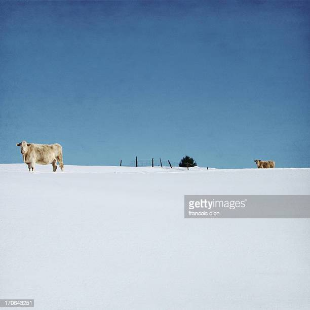 Cows on snow covered hill